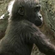 Baby Gorilla2 Art Print