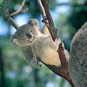 Baby Koala Bear Art Print
