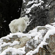 Baby Mountain Goat Art Print