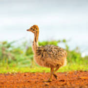 Baby Ostrich Art Print