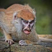 Baby Patas Monkey On Guard  Art Print