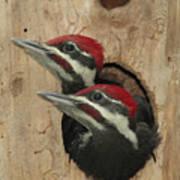 Baby Pileated Woodpeckers Peer Art Print
