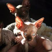 Baby Sphynx Cats  Art Print