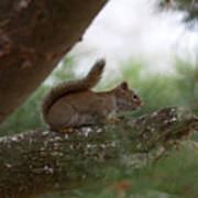 Baby Squirrel Art Print