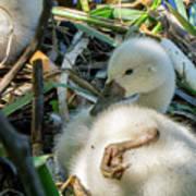 Baby Swan Resting Art Print