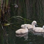 Baby Swans Art Print