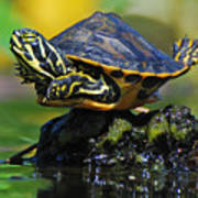 Baby Turtle Planking Art Print by Jessie Dickson