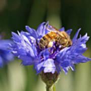 Bachelor Button And Bee Art Print