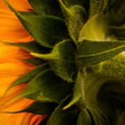 Back Angle Of Sunflower Art Print