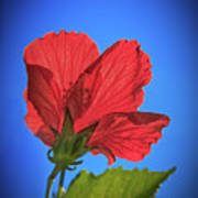 Back Lighting The Red Hibiscus  Art Print