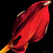 Back Lit Black Calla Lily Art Print