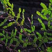 Back-lit Conifer Branches Art Print