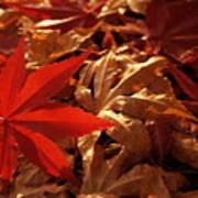 Back-lit Japanese Maple Leaf On Dried Leaves Art Print