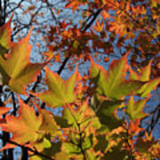 Back-lit Sugar Maple Leaves From Below Art Print