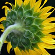 Back Of Sunflower Art Print