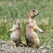 Back To Back Prairie Dogs Art Print