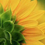 Back View Of Sunflower Art Print