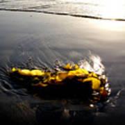 Backlit Kelp Art Print