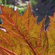 Backlit Leaf 2 Art Print
