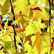 Backlit Liquidambar Leaves Art Print