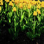 Backlit Tulips Art Print