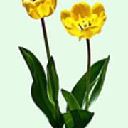 Backlit Yellow Tulips Art Print