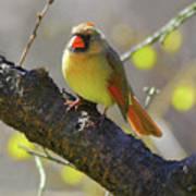 Backyard Bird Female Northern Cardinal Art Print