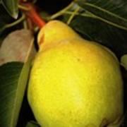 Backyard Garden Series - One Pear Art Print