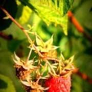 Backyard Garden Series - One Ripe Raspberry Art Print