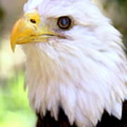 Bald Eagle 1 Art Print