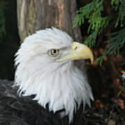 Bald Eagle #8 Art Print