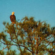 Bald Eagle Burnt Store Marina Florida Art Print