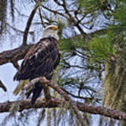 Bald Eagle By H H Photography Of Florida Art Print