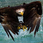 Bald Eagle In Flight Print by Dean Bertoncelj
