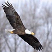 Bald Eagle In Flight Art Print