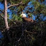 Bald Eagle In The Nest Art Print