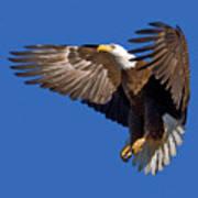 Bald Eagle Landing  Art Print
