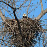 Bald Eagle Lookout  3661 Art Print