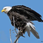 Bald Eagle On Cottonwood Tree Branches Art Print
