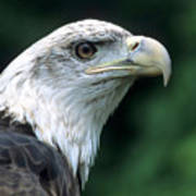 Bald Eagle On Guard Art Print