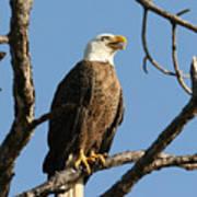 Bald Eagle On Pine Island Art Print