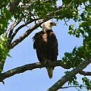 Bald Eagle On Watch Art Print