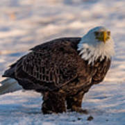 Bald Eagle Over Its Prey Art Print