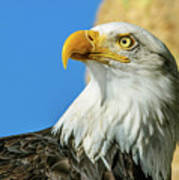 Bald Eagle Profile 4 Art Print