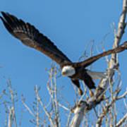 Bald Eagle Shows Its Focus Art Print