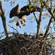 Bald Eagle Taking Fish To Nest 031520169678 Art Print