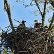 Bald Eagle With Chick In Nest 031520169849 Art Print