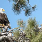 Bald Eagle With Nestling Art Print