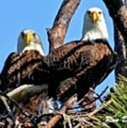 Bald Eagles In Nest Art Print