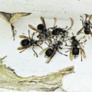 Bald Faced Hornets Art Print